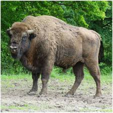 Black Bison from Bucsani