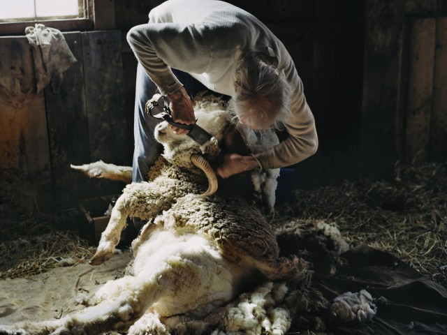 Haircutting sheep in Lazaresti