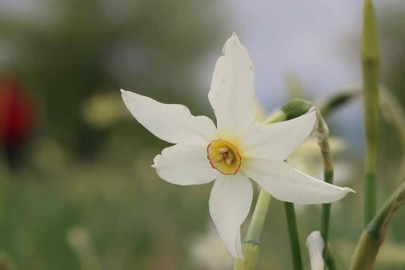 Narcissus Glade
